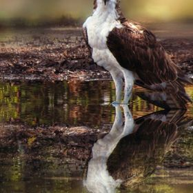 Osprey, Reflection Portrait