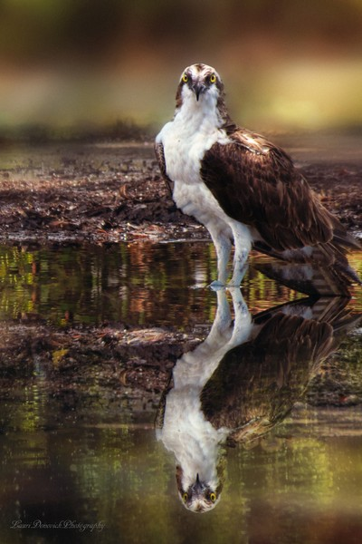 Osprey, Reflection Portrait