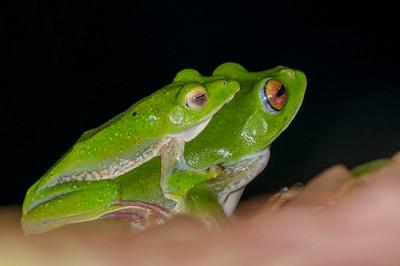 Malabar Gliding Frogs (M/F)