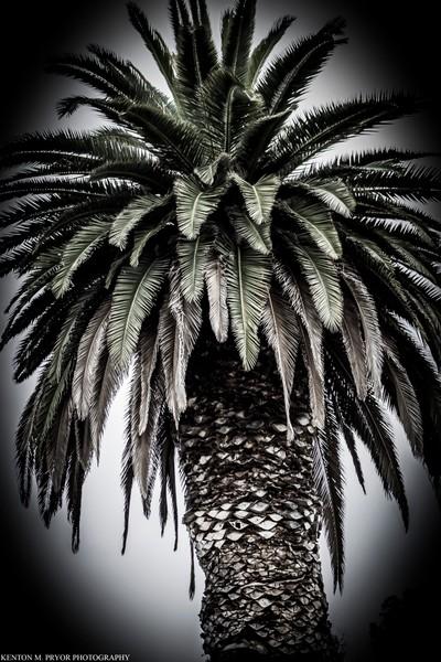 Californian Palm Tree