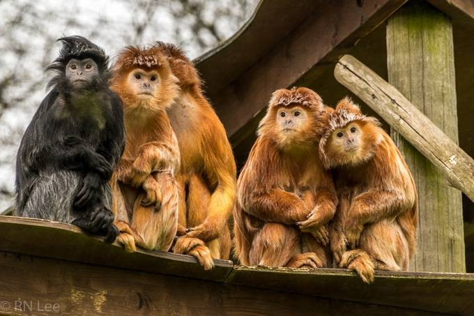 Javan Langurs by Rnlee - Monkeys And Apes Photo Contest