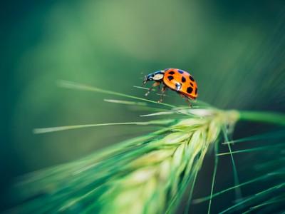 ** Dancing Ladybug **