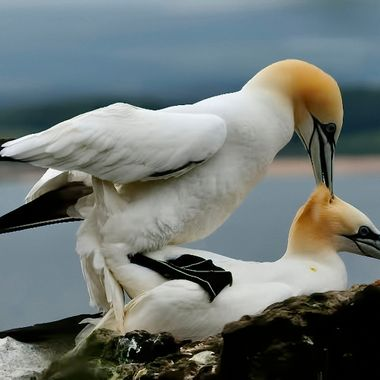 Northern Gannets doing their thing !!