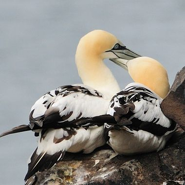A pair of Northern gannets cuddling on Bass Rock.