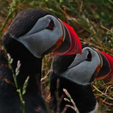 A pair of Puffins outside their burrow at dusk