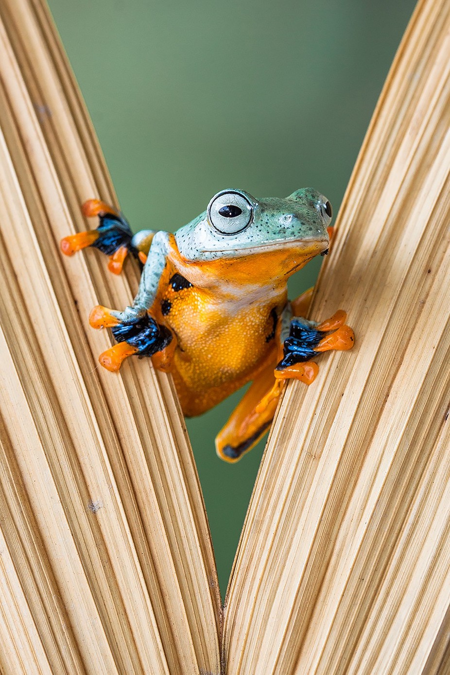 Flying frog by lessysebastian - Covers Photo Contest Vol 41