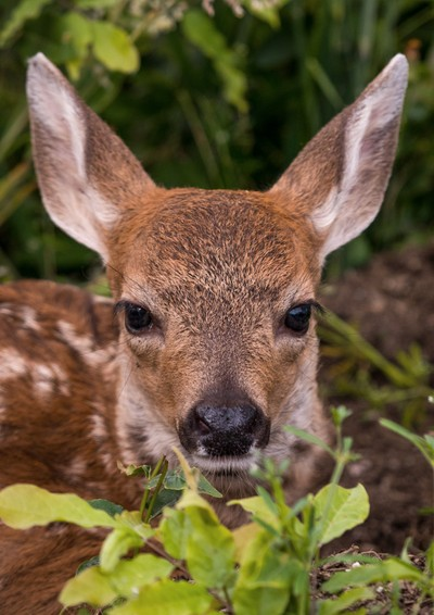 Babydeer in Yard