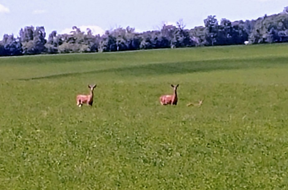 On my way to work, cane to the end of my road and was surprised to see the two doe and one baby.