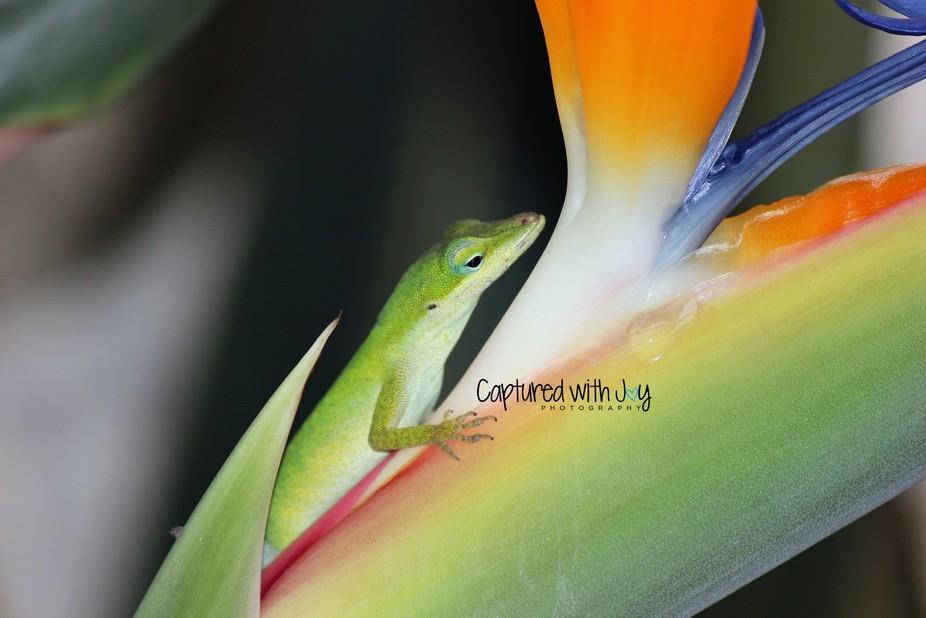 Lizard in Paradise