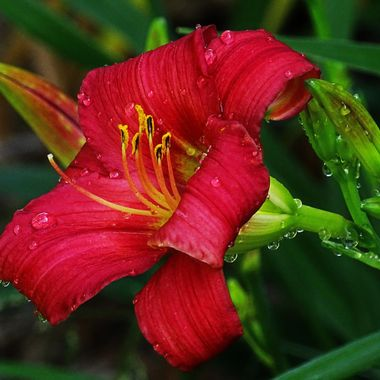 Kathy's Red Lily