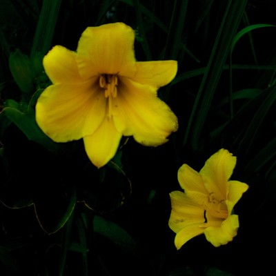 2 Yellow Day Lilies