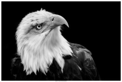 Alaskan Bald Eagle - Black And White Portraiture