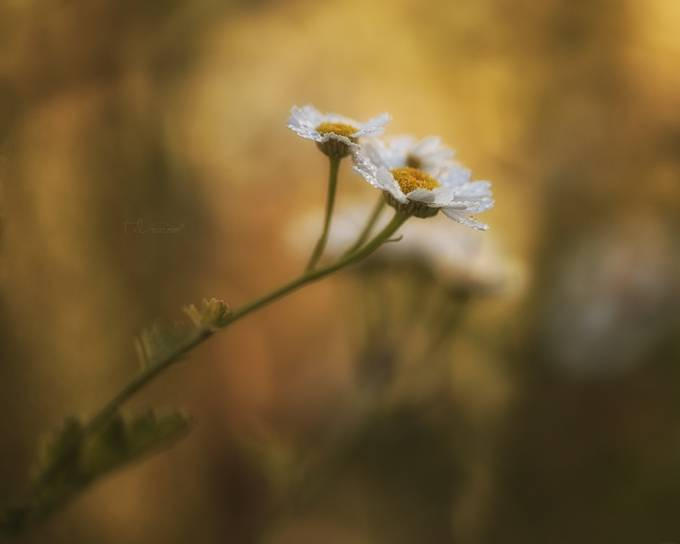 Daisies  by traceydobbs - Macro And Patterns Photo Contest