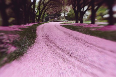 CherryBlossomDrive
