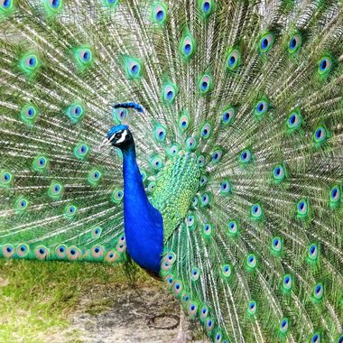 The Elegant Peacock putting on a terrific show :)
