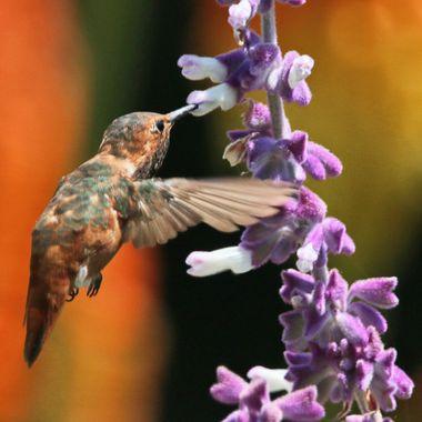 Hummingbird IMG_9165