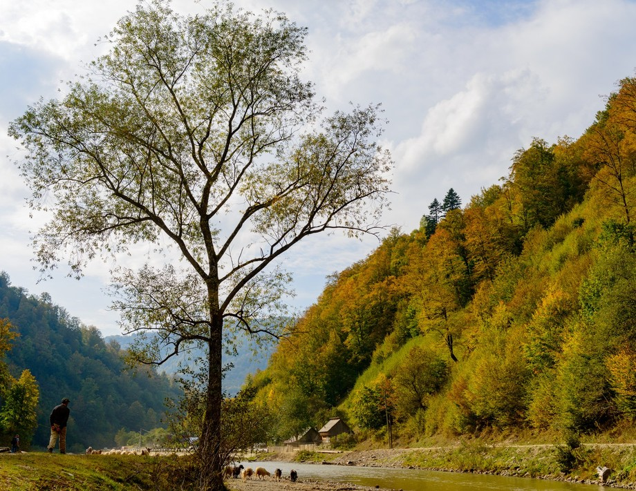 A shepherd brings his flock down to the river to drink in the shadow of this magnificent tree.  Autumn in the Wasser river valley Carpathian Mountains Maramures Roumania