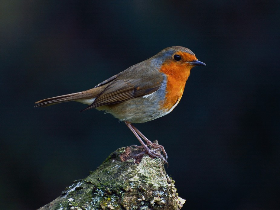 A British Robin sitting nicely