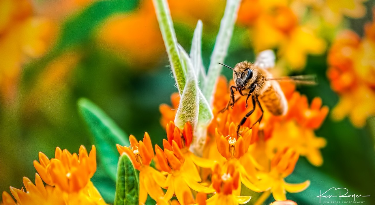 Apis Mellifera on Asclepias Tuberosa Honey Bee on Butterfly Weed