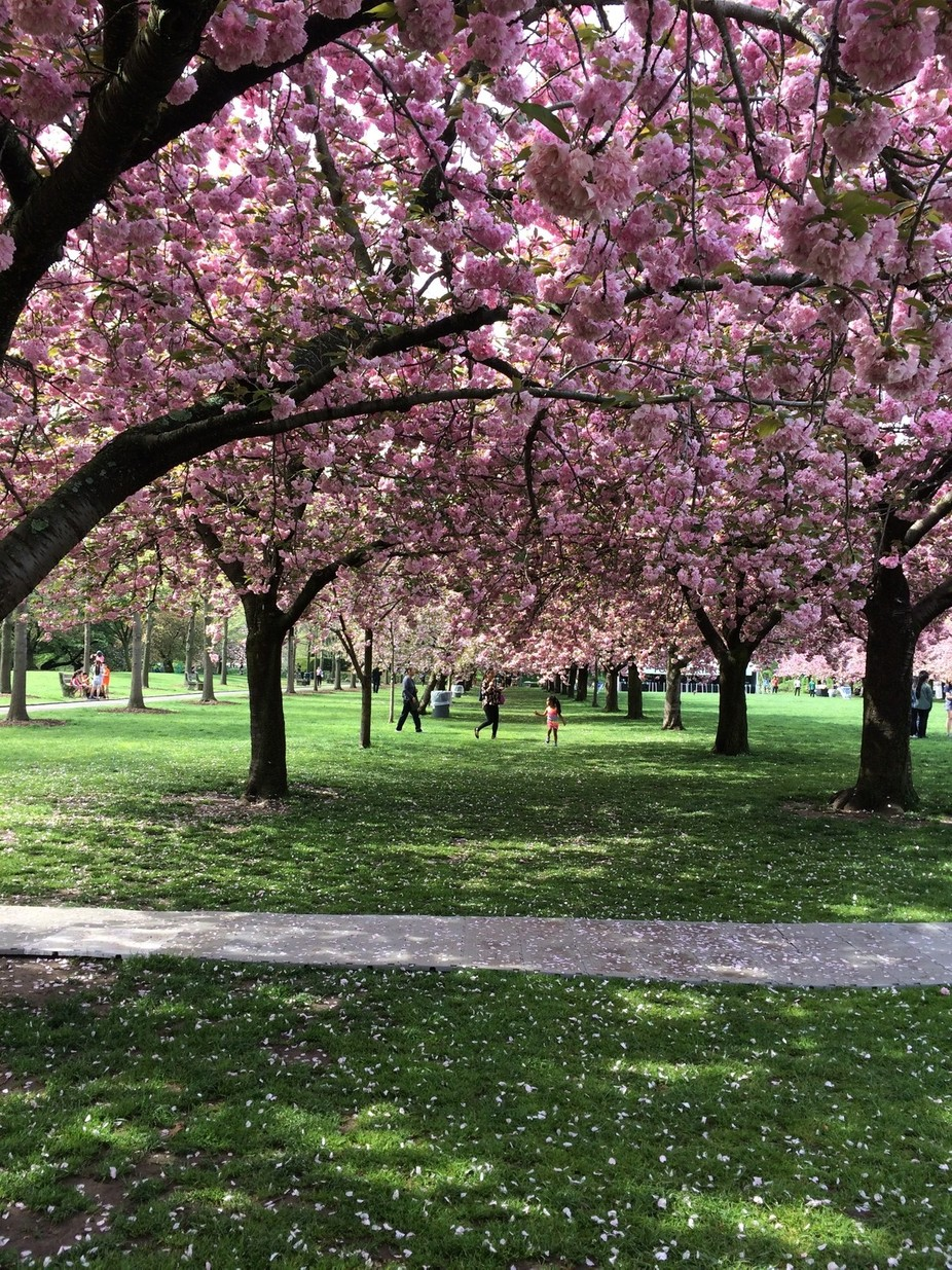 In the Brooklyn Botanical Garden, a festival is held when the cherry blossoms are at their peak. ...