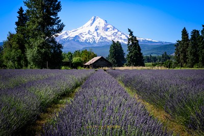Lavender Valley, Mt. Hood, Oregon