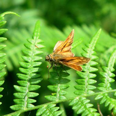 Large Skipper Butterfly on a fern.