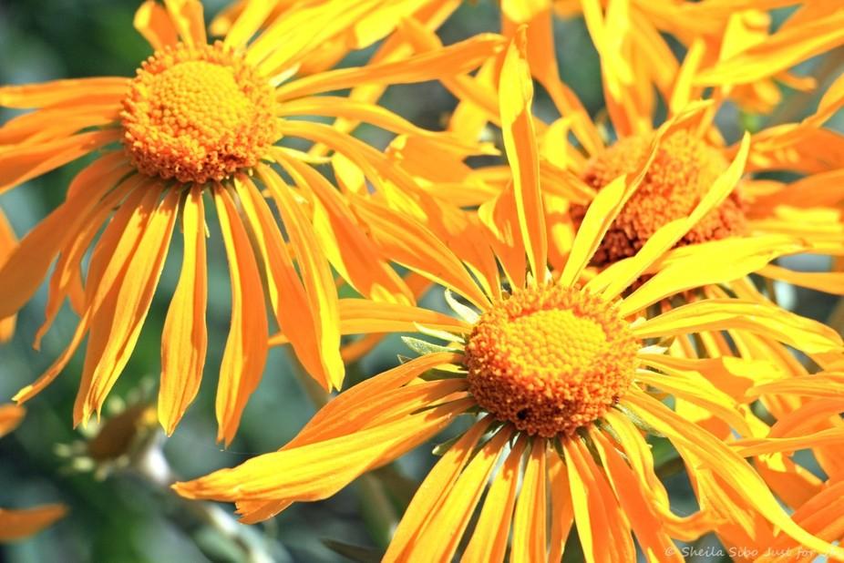 Sneezeweed - Colorado Wildflower; Crested butte, Colorado www.just4joy.com