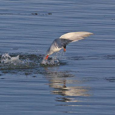 Tern fishing IMG_1674
