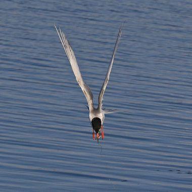 Tern fishing IMG_1632