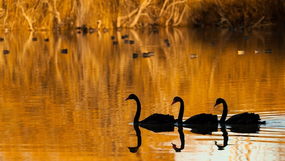 The reflections of the golden willows created the perfect backdrop for these wild black swans on ...