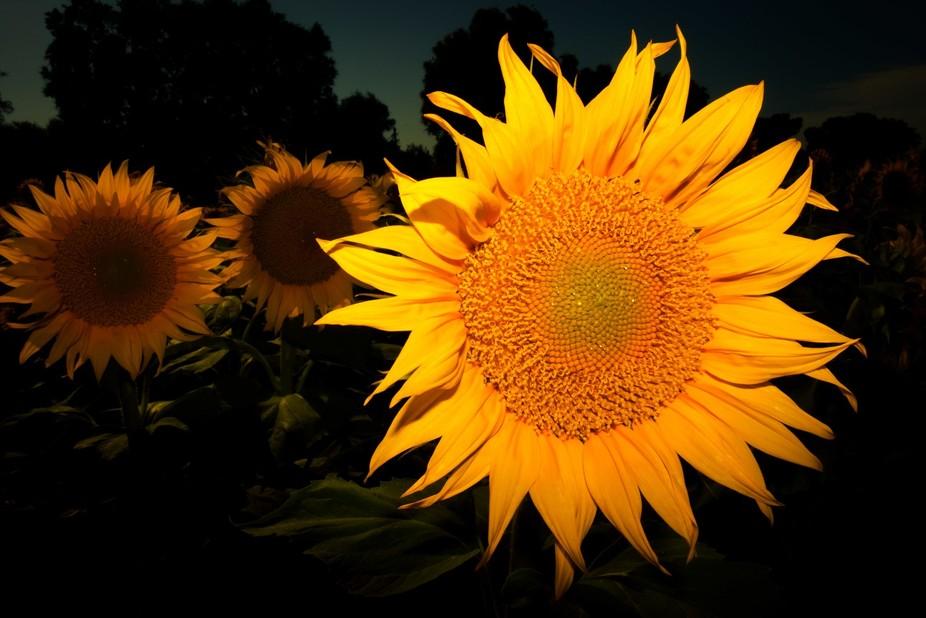 A Sunflower!