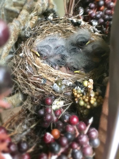 Four Baby Birds in a Nest. I chronicled these birds from eggs to when they left the nest.