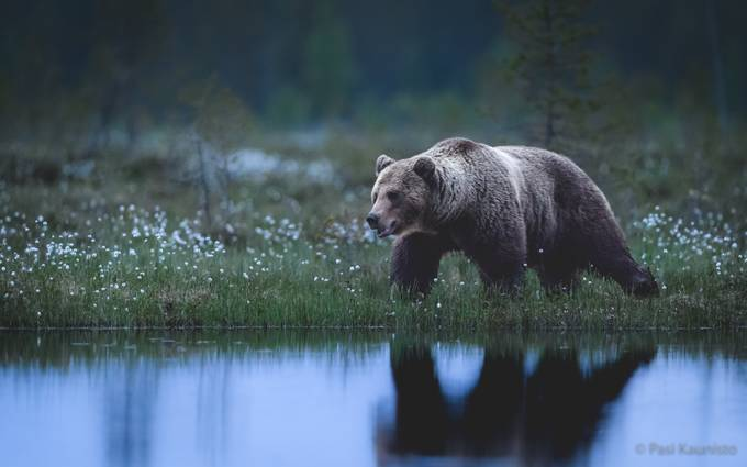 In wilderness at midnight by kaunisto_pasi - Animals And Water Photo Contest