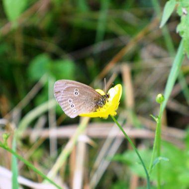 Ringlet Butterfly on Buttercup flower.