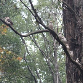 A tree full of merry fellows. Kookaburras always sound like they are laughing at us.
