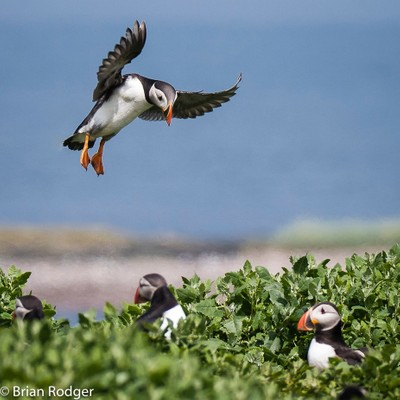 Fast approaching Puffin