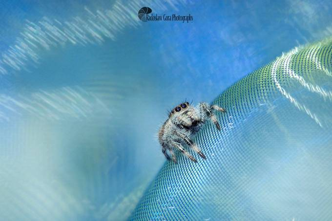 Jumping Spider by radekgora - Macro Games Photo Contest