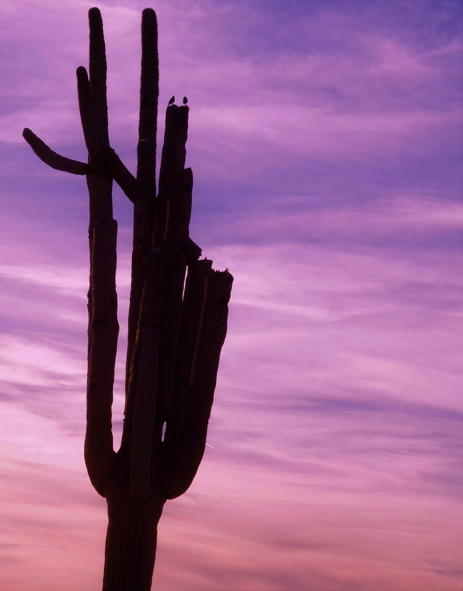 Two birds on top of a Saguaro Cactus, Taken near the Superstition Mountains in Arizona
