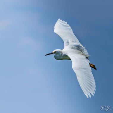 Soaring Egret