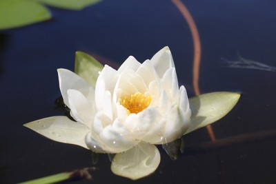 While up in Michigan taking some photos of a family event I also took some photos of some water lilys.