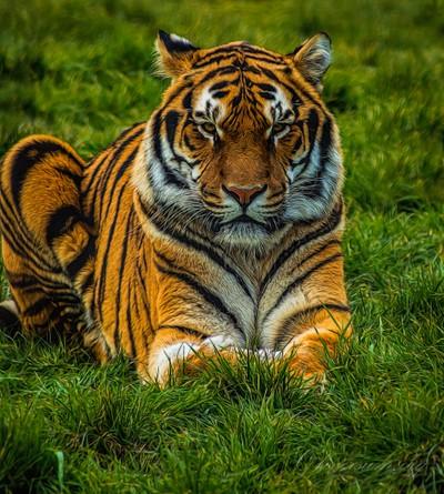 Tiger watching me