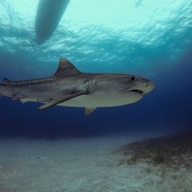 Tiger Shark at Tiger Beach