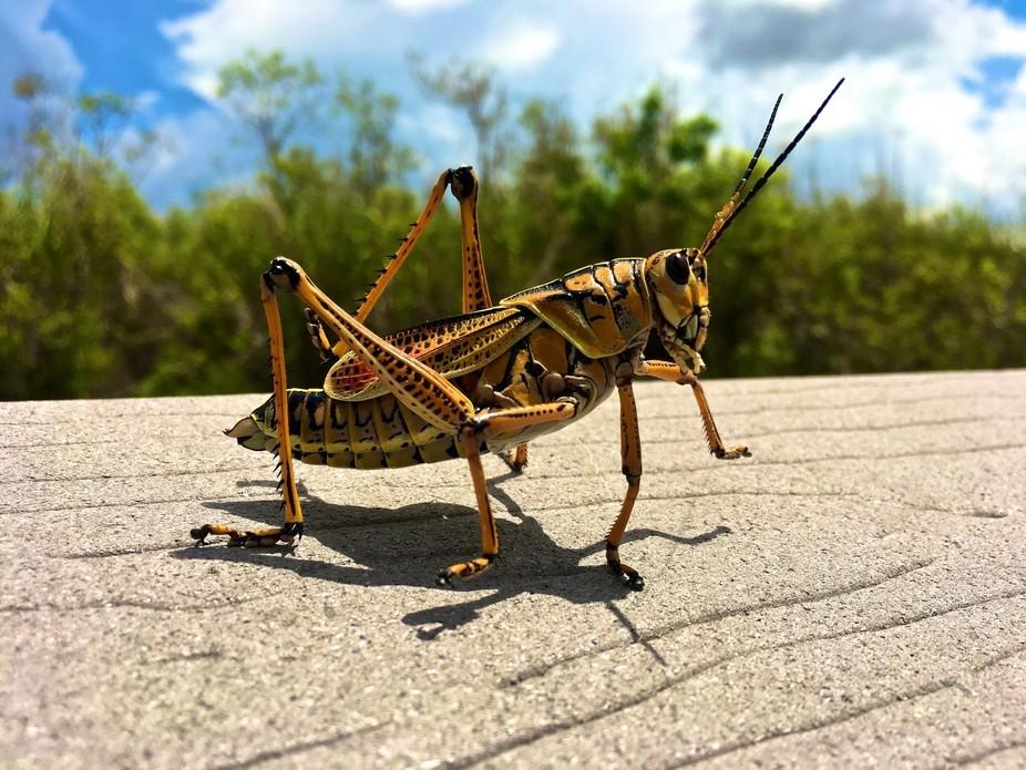 Grasshopper in motion.