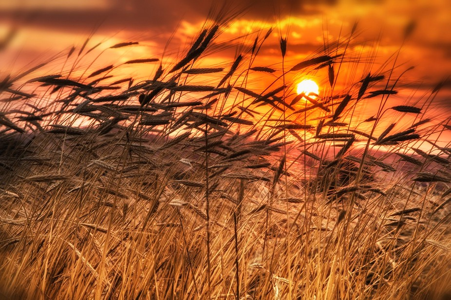 Ears of wheat just before harvest, at the last sunset of their lives.