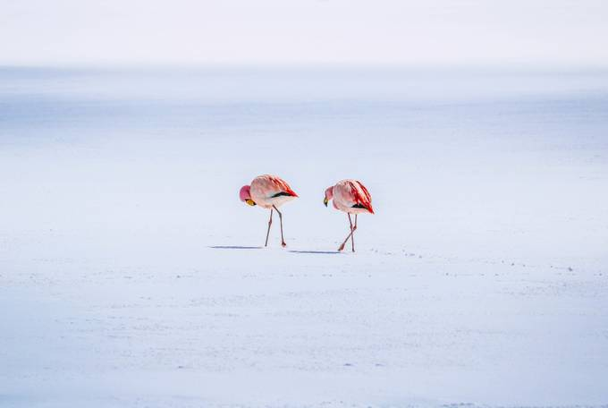 Flamingo Couple by RobSoegtrop26 - Isolated Photo Contest