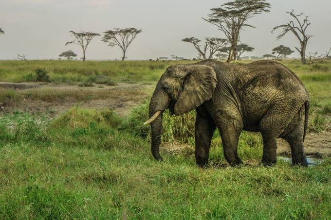 Serengeti Elephant by RobSoegtrop26 - Strong Foregrounds Photo Contest
