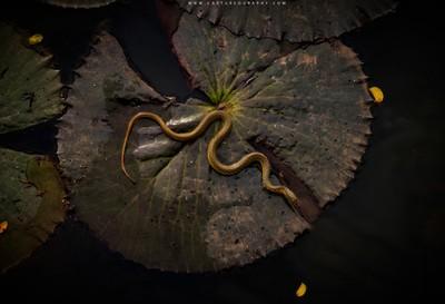 Keelback on Lotus_Leaf Bed