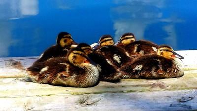 Half a Dozen Duckies on the Dock