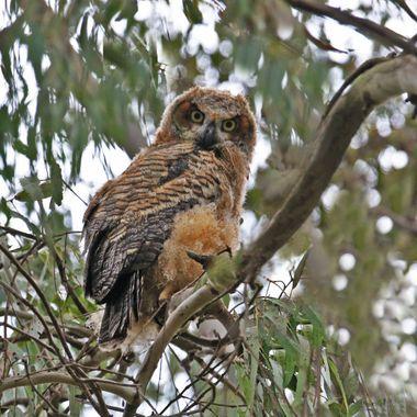 Juvenile Great Horn Owl IMG_8334