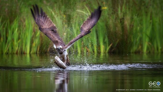 Osprey Hit by geopic - Food Chain Struggles Photo Contest